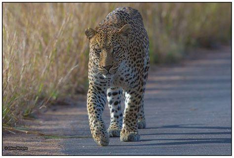 leopard kruger clive wright
